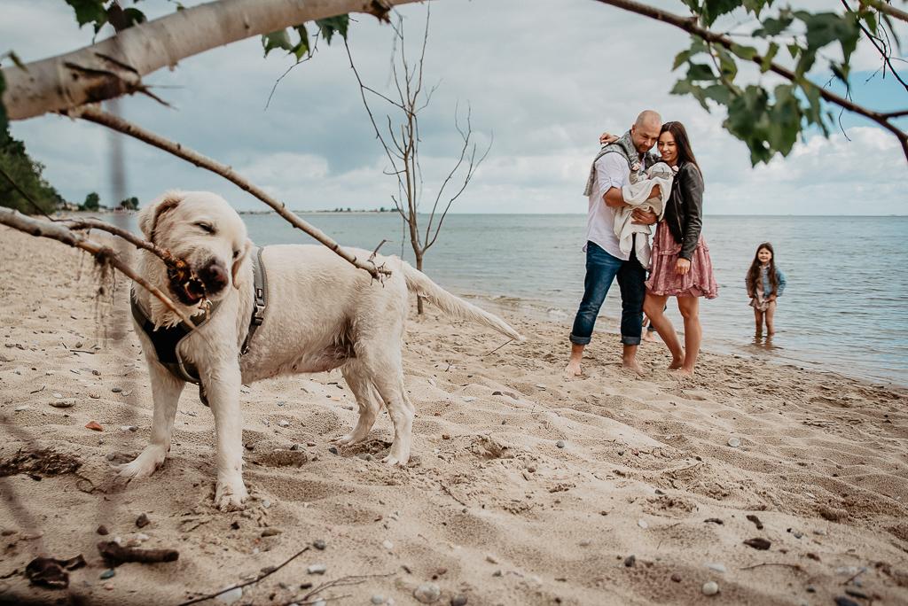 pies na sesji fotograficznej labrador na plaży