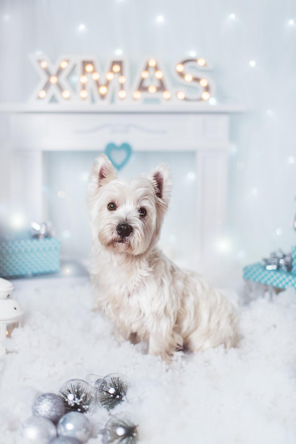 piesek west highland white terrier na sesji świątecznej na tle kominka